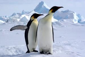 Manchots Empereur au pôle sud