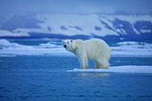 Ours polaire en Arctique
