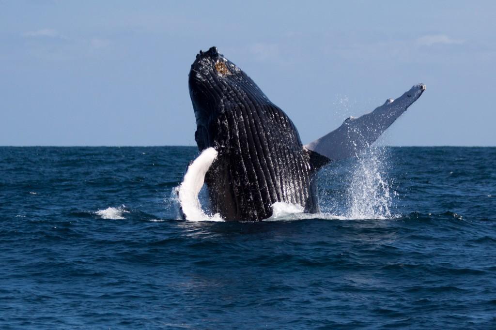 La saison des amours des Baleines a Bosse a Samana, Republique Dominicaine